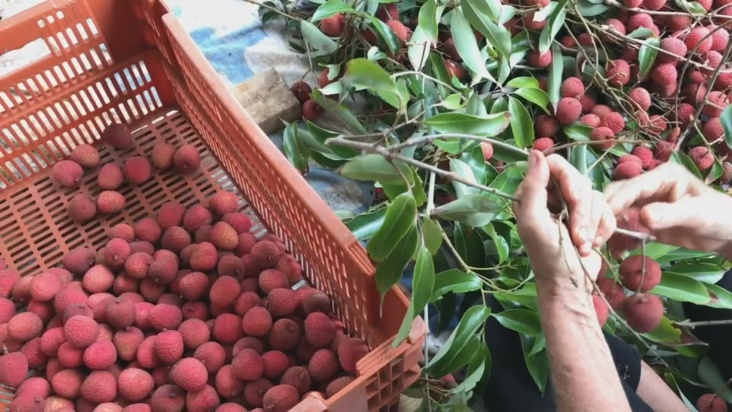 Tubuai : la production de litchi explose